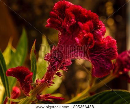 Macro photo of a Cockscomb flower with dark background and dark subtle mood lighting.