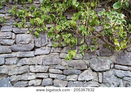 Fragment of old gray stone wall made of different form and size rockes with ivy (Hedera helix) climbing on it. Can be used as a background.