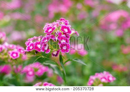 Dianthus Flower In Garden