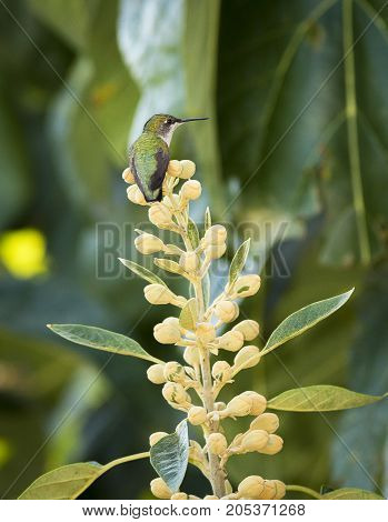 A female Ruby-throated Hummingbird (Archilochus colubris) perches in a tree while standing watch over a feeder.
