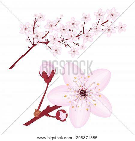 Pink cherry blossom, sakura flowers branches on white background. Vector illustration.
