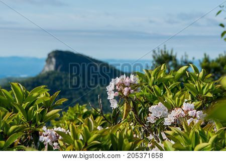Mountain Laurel Bloom With Table Rock Mountain In Background