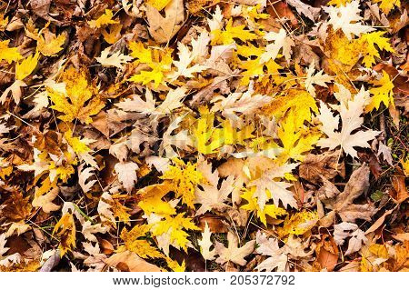 Jumble of yellow and brown maple leaves on ground in autumn.