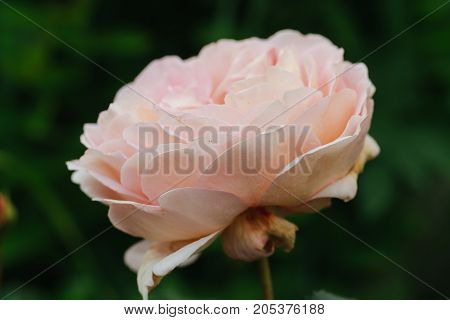 garden pink rose. horizontal day shot close-up