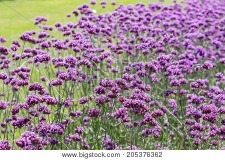 Tall purple verbena in full bloom growning in a garden.