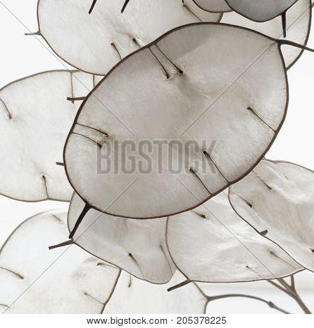 full frame honesty plant closeup in white back