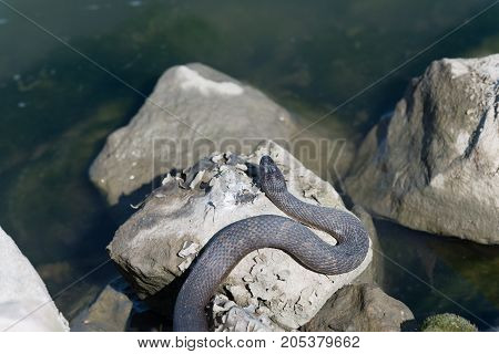 Snake laying on the rocks sunbathing the day away