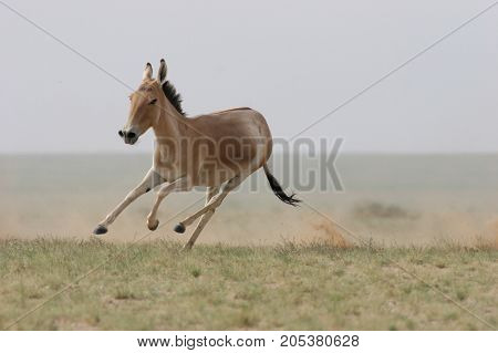 The horse is slender, graceful animal, with a strongly developed musculature and a strong Constitution. The rounded body with long slender legs, on the wrists, which inner side has calloused dead skin bumps-thickening. On a graceful muscular neck is a lar
