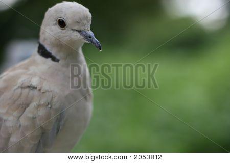 Pigeon - 2
