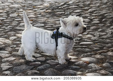 West Highland White Terrier Side View