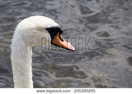 Head Of Wet White Swan Close-up