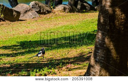 Closeup Of A Magpie Standing In The Shade