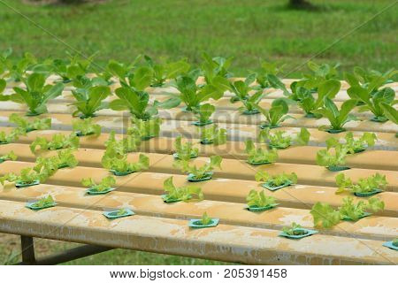 hydroponic plants in vegetable garden farm greenhouse of hydroponic plants growing in the water without soil. ** note select focus with shallow depth of field