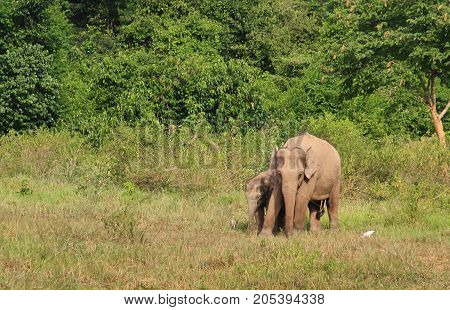 Two Asian elephants, mother and her kid. asian elephants at Kui Buri National Park, Thailand.