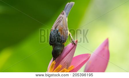 Bird (brown-throated Sunbird) On Banana Flower