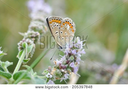 Aricia agestis, Brown Argus butterfly in nature. Common blue butterfly on wild flowers