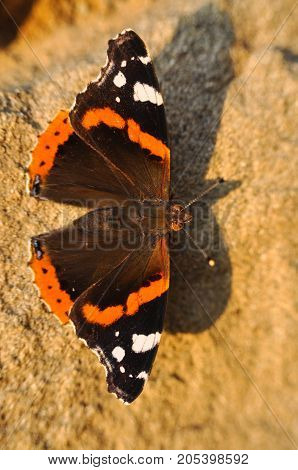 Red Admiral butterfly resting on wall. Vanessa atalanta or red admiral butterfly.