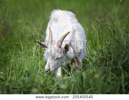 A young cute white goat grazes in a meadow
