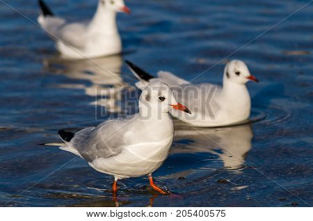 Close-up of some beautiful Seagulls in the Water. View on three Seabirds on a sunny Day. Gulls at the Lake.   Nature and Wildlife Background