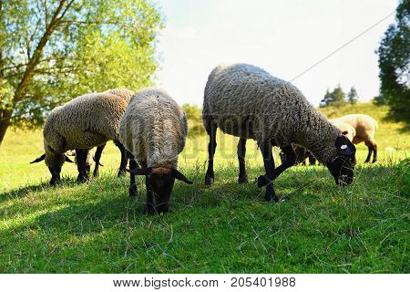 Herd of sheep on grazing. Animal in nature.