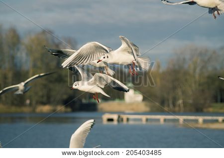 Close-up of beautiful flying Seagulls in front of a Forest. View on a flying Seabirds with outspread Wings. Gulls at the Lake.   Nature and Wildlife Background
