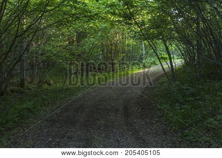 Hazel shrubbery covers a gravel road. Dark light under the leaves, some beams from the right.