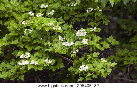 White flowers on a bush in the wood. Green leaves.