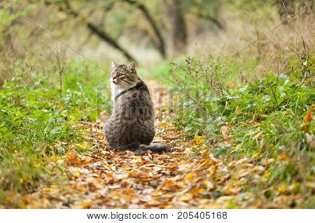 animals, nature, fall concept. on the path of autumnal yellow and red leaves there is big fluffy grey cat with dark strips and spots, gorgeous white mastache and with leery look