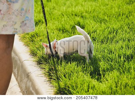 Funny white toy terrier dog on the leash. Portrait of Russians toy terrier. Close image of beautiful cute toyterrier.