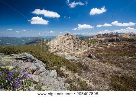 Alpine flower Viola Calcarata in Tuscan Emilian Apennine - Parma - Italy