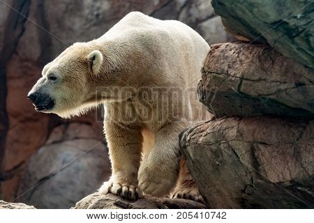 Asheboro North Carolina USA - September 20 2017: Polar bear (Ursus maritimus) exhibit in the North America plaza at the North Carolina Zoo.