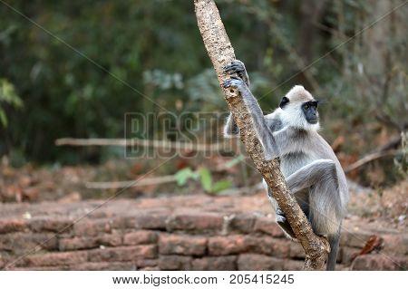 The Hanuman Langurs of Sri Lanka in the wild life