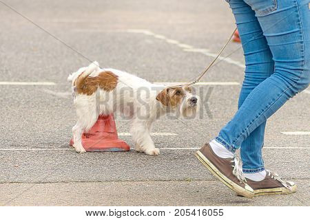 small terrier breed dog pisses on a red column and guiltily looks at the owner. Space under the text. 2018 year of the dog in the eastern calendar Concept: parodist dogs, dog friend of man, true friends, rescuers.