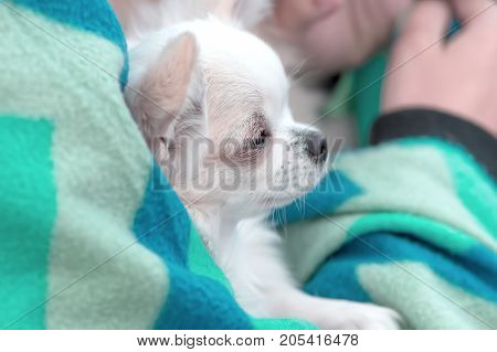 Chihuahua small dog is warming under a rug Close-up. Space under the text. 2018 year of the dog in the eastern calendar Concept: parodist dogs, dog friend of man, true friends, rescuers.