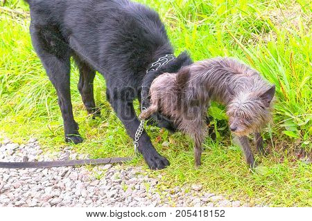 small dog empties onto a large dog. Concept: small, weak, but brazen, manage large and strong