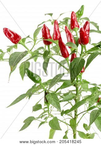 branch red chili pepper with leaf isolated on a white background no shadow.