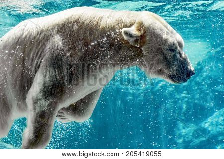 Asheboro North Carolina USA - September 20 2017: A polar bear (Ursus maritimus) swims underwater past the viewing window on a hot day at the North Carolina Zoo.