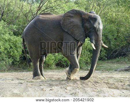 Elephant on the river bank of the Zambesi stomp with the foot in the sand