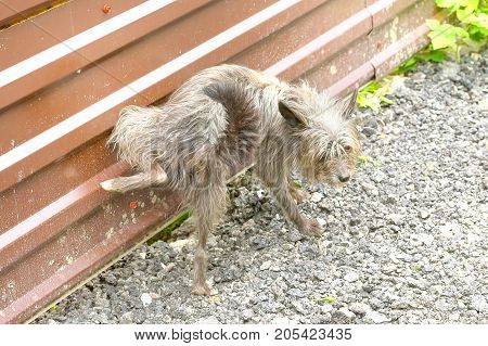 small shaggy dog lifted his hind leg and pissed on the fence. The dog is small, active, elegant, very cheerful and has a strong attachment to its owner. Close-up. Concept: cute, home, friend, love, affection, kindness, care. Space under the text. 2018 yea