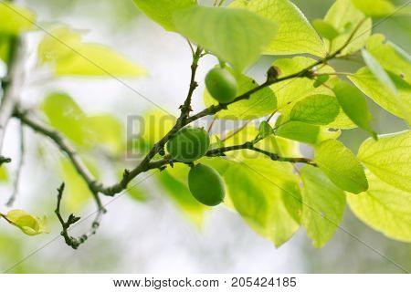 green unripe apricots on a tree . In the park in nature