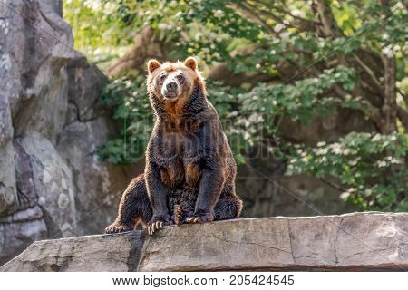Asheboro North Carolina USA - September 20 2017: Grizzly bear (Ursus arctos) sitting on a rock in the North American exhibit at North Carolina Zoo.