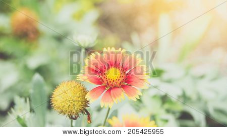 Flower (zinnia, Zinnia Violacea Cav.) In Garden