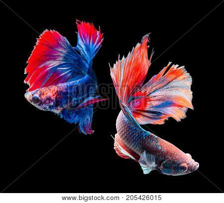 Betta splendens siamese fighting fish isolated on black background