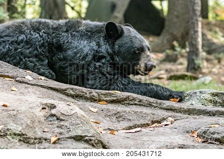 Asheboro North Carolina USA - September 20 2017: Black bear (Ursus americanus) the world's most common bear species lying on a rock at the North Carolina Zoo.