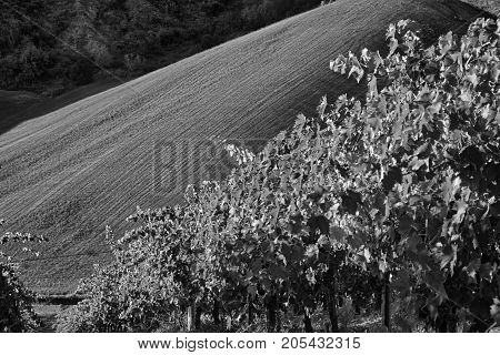 Country landscape between Riolo Terme and Brisighella (Ravenna Emilia Romagna Italy) at summer. Vineyards. Black and white