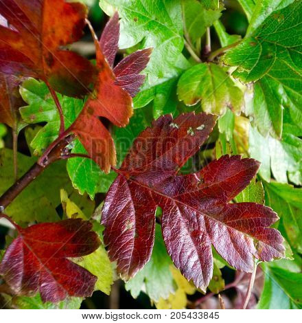 Autumn colours as leaves of the hawthorn change