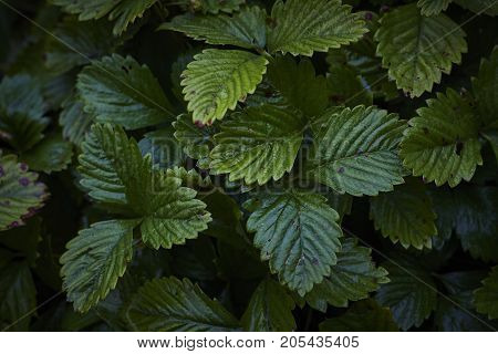 lonely strawberry Fragaria green wet plant leaves in dark background