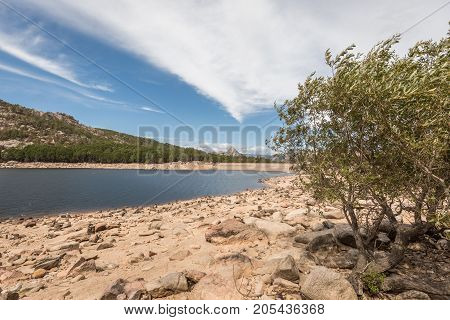 Olive tree growing amongst the rocks and boulders on the banks of Lac de l'Ospedale with the dam wall and pine trees and hills in the background under blue skies