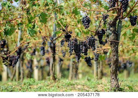 Vineyard with Sangiovese grapes