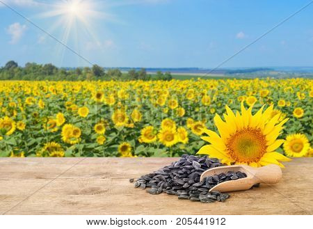 heap of sunflower seeds in scoop, fresh sunflower on wooden table with natural background. Blooming sunflower field with blue sky and sunshine. Agriculture and harvest concept